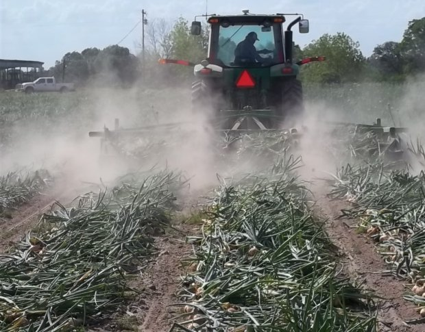 onion production Earn ksh 800,000 from one acre of onions in 3 months  shillings = ksh 800,000 minus average cost of production which  onion farming in kenya can be.