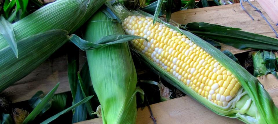 Corn bicolor